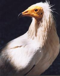Le percnoptère...  Neophron percnopterus, L...  Vautour égyptien..