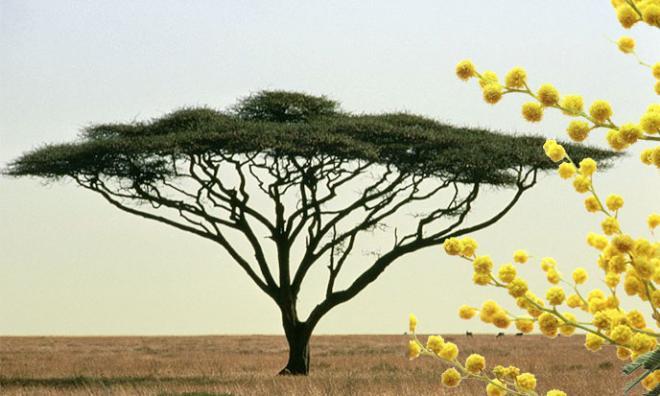Acacia ombrelle israel mimosa 688po