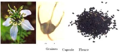 Leffet antibacterien de nigella sativa14