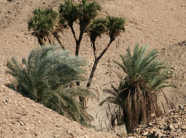 Palmier doum mele a des palmiers dattiers phoenix dactylifera