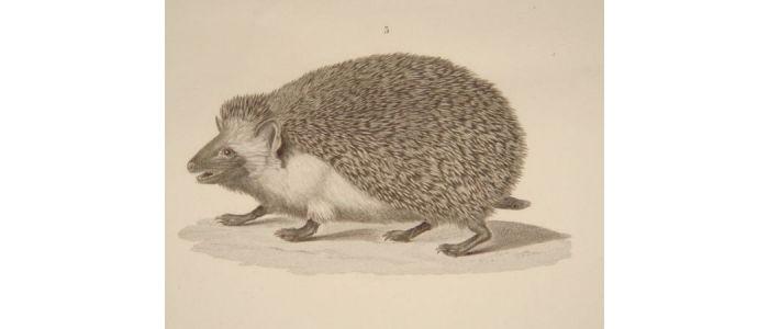 Mammifères. Rat d'Alexandrie, Echimis d'Égypte, Hérisson oreillard.