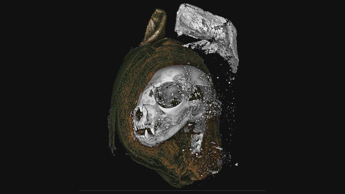 Balayage micro CT de la tête de chat momifiée