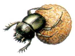 scarabee-sacre