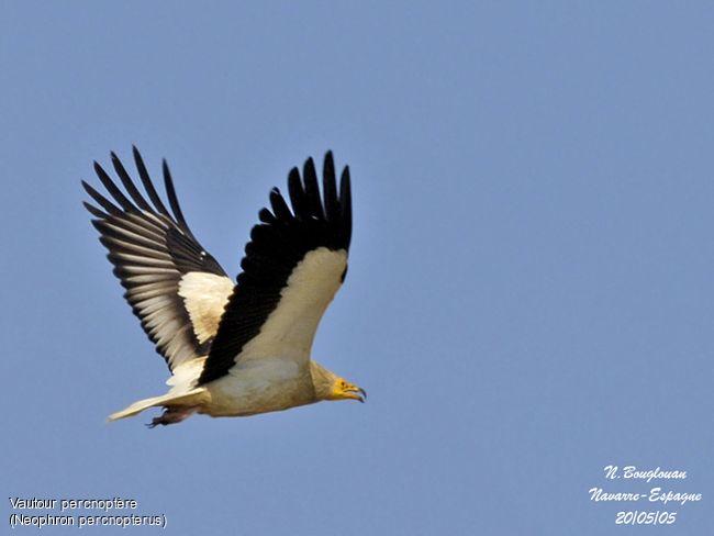 vautour percnoptere