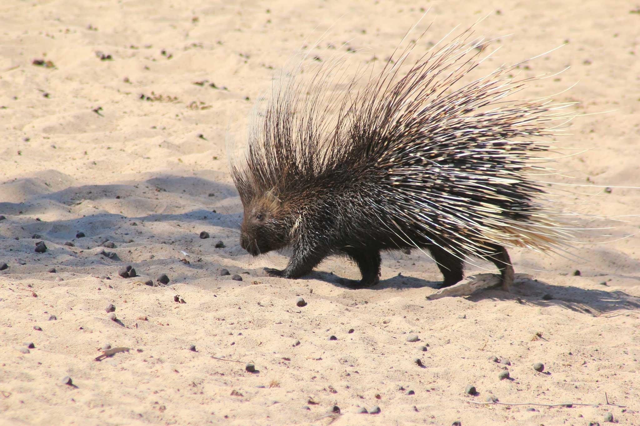 Vicky Metafora crested porcupine