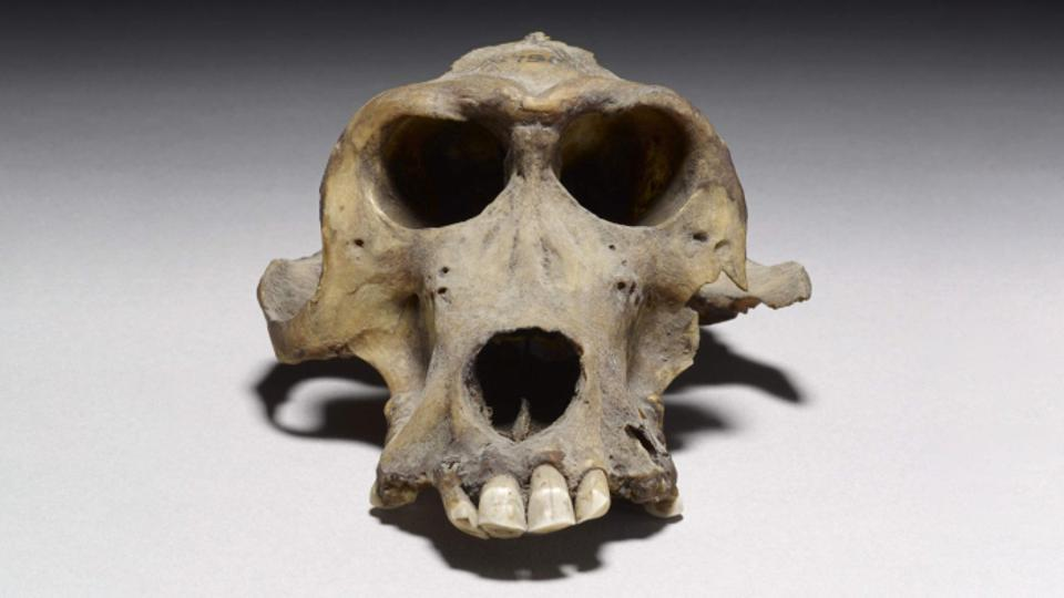 Https specials images forbesimg com imageserve 5fe07b3f628fc3bd8491e16b a 3300 year old baboon skull thought to have come from punt 960x0 jpg fit scale